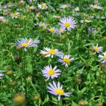 BOLTONIA ASTEROIDES Jim Crockett False Aster