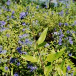 Caryopteris x clandonensis Worcester Gold  Blue Mist Shrub