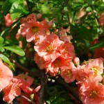 Chaenomeles x Cameo  Flowering Quince