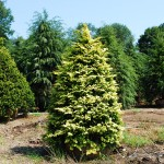 CHAMAECYPARIS OBTUSA Cripsii Golden Hinoki Cypress