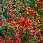 Cotoneaster dammeri (Royal Beauty)