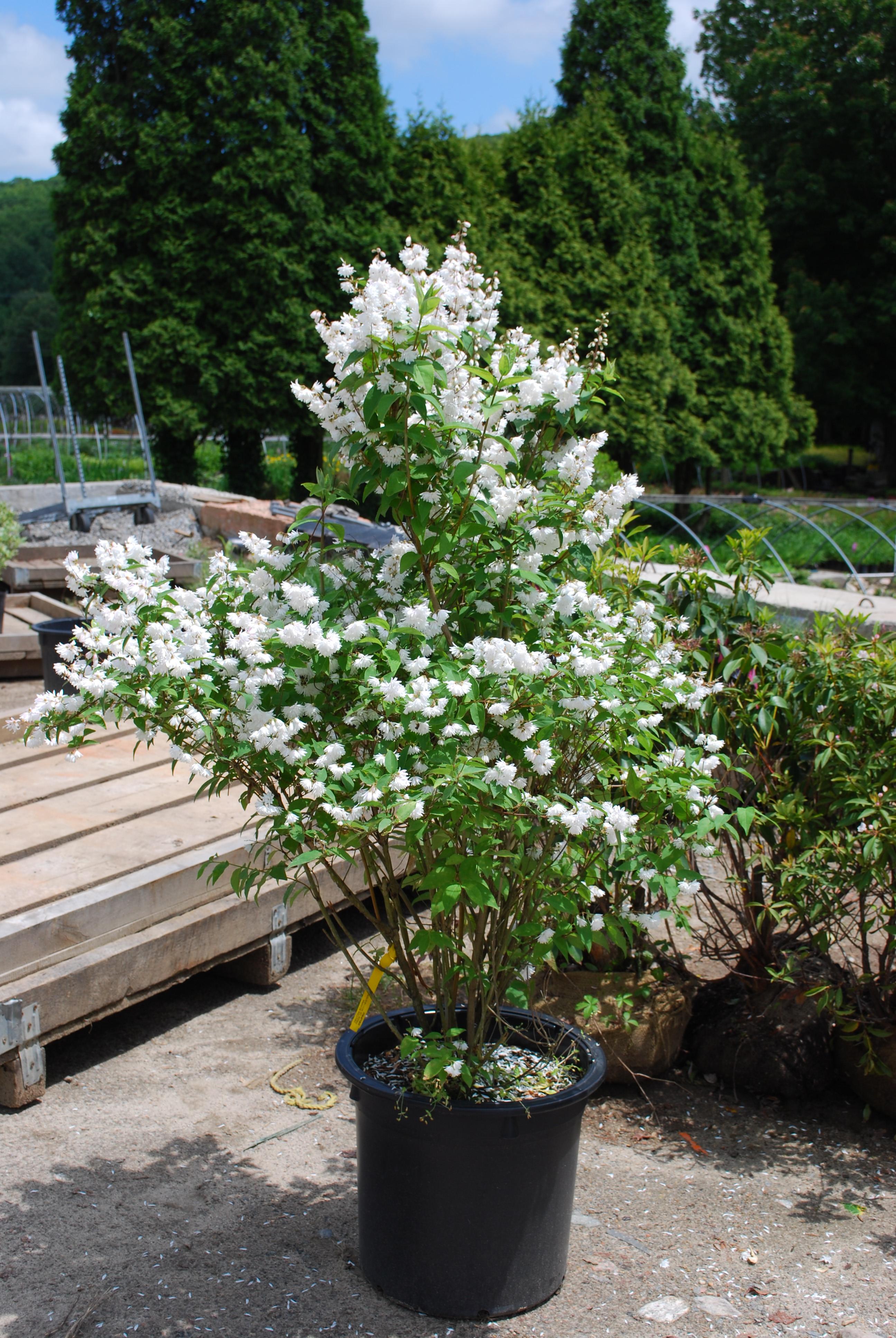 Deciduous Shrubs Planters Choice