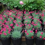 DIANTHUS Maiden Pinks