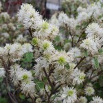 FOTHERGILLA Witchalder flower closeup