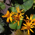 LIGULARIA DENTATA Othello Golden Ray