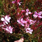 GAURA Wand Flower