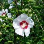 Hibiscus syriacus Red Heart  Rose of Sharon