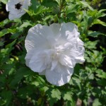 HIBISCUS SYRIACUS JEAN D'ARC Rose of Sharon