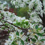 MALUS Jed Jewel Crabapple