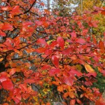 NYSSA SYLVATICA Black Gum fall color