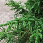 PICEA ORIENTALIS Oriental Spruce