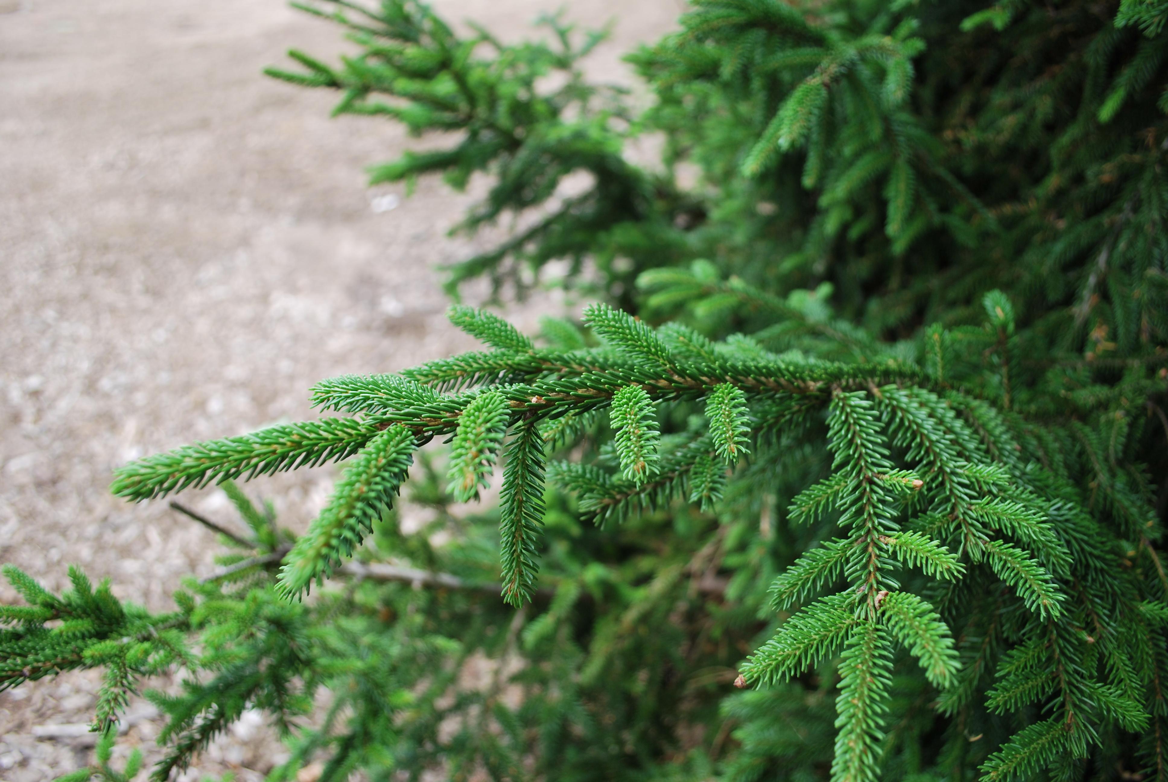Screening Evergreens Planters Choice