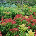 PIERIS JAPONICA Mountain Fire Japanese Andromeda new growth