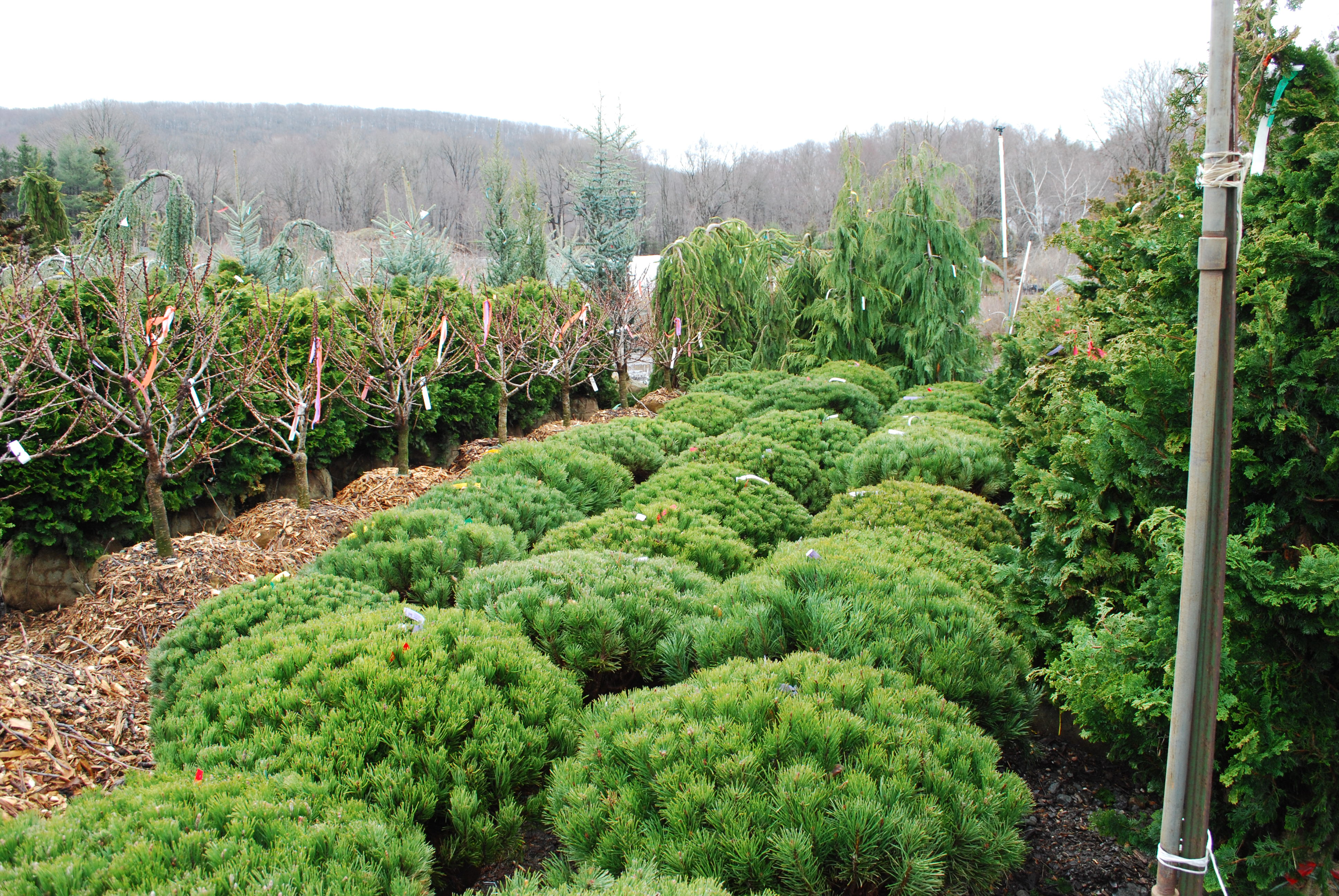 first conifers - photo #19