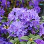Rhododendron Blue Barron small leaf