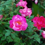 Rosa Pink Knockout