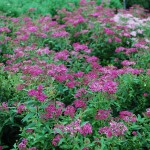 Spiraea x bulmalda Anthony Waterer