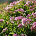 Spiraea japonica Little Princess closeup