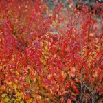 SPIRAEA PRUNIFOLIA Bridalwreath Spirea fall color