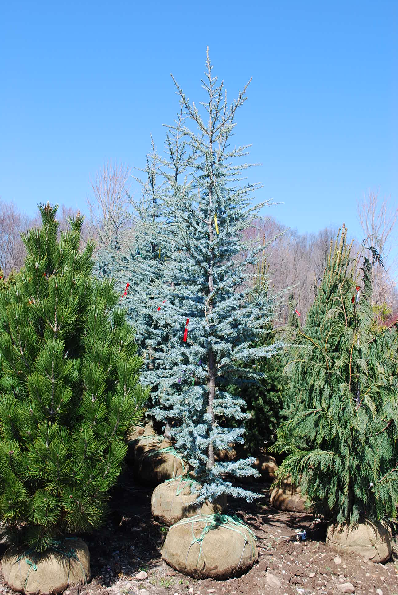 Blue To Green Flakie Gradient: Specialty Conifers
