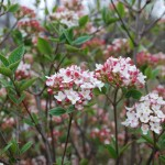 Viburnum carlesii  Korean Spice Viburnum early spring