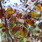 CERCIS CANADENSIS Forest Pansy Redbud foliage