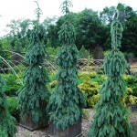 PICEA GLAUCA PENDULA Weeping White Spruce