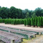 THUJA OCCIDENTALIS EMERALD GREEN American Arborvitae