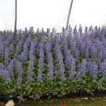 AJUGA REPTANS BRONZE BEAUTY Bugleweed