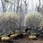 AMELANCHIER CANADENSIS RAINBOW PILLAR Serviceberry