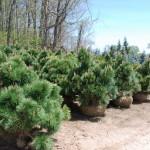 PINUS THUNBERGII THUNDERHEAD Japanese Black Pine
