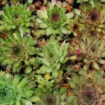 SEMPERVIRENS TECTORUM Hens and Chicks