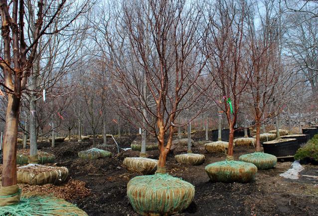 ornamental decor products trees decorative kinbark ltd