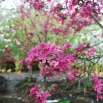 MALUS PURPLE PRINCE Crabapple