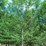 GLEDITSIA TRIACANTHOS SKYLINE Honey Locust