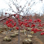 MALUS RED JEWEL Crabapple fruit