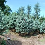 PICEA PUNGENS FAT ALBERT Colorado Spruce variety