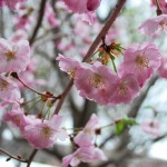 PRUNUS X ACCOLADE Flowering Cherry