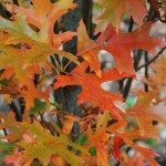 QUERCUS PALUSTRIS GREEN PILLAR Pin Oak fall color