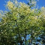 STYPHNOLOBIUM  JAPONICA Japanese Scholar Tree