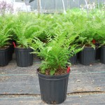 ATHYRIUM FELIX FEMINA LADY IN RED Lady Fern