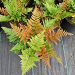 DRYOPTERIS ERYTHROSORA Autumn Fern closeup
