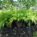 HAKONECHLOA MACRA ALL GOLD Japanese Forest Grass