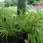 HAKONECHLOA MACRA AUREOLA Japanese Forest Grass