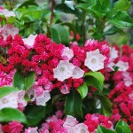 KALMIA LATIFOLIA CAROL Mountain Laurel