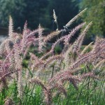PENNISETUM ORIENTALIS KARLEY ROSE Fountain Grass