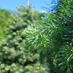 ABIES CONCOLOR Concolor Fir needles