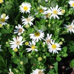 ASTER AGERATOIDES STARSHINE Aster