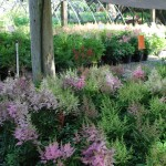 ASTILBE X YOUNIQUE PINK False Spiraea