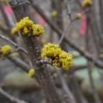 CORNUS MAS GOLDEN GLORY Cornelian Cherry
